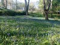 Carpet of Bluebells in Letterfrack Woods
