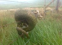 Remains of sheep's head attached to the deer fence